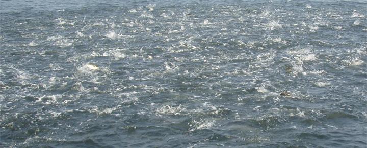 montauk bluefish